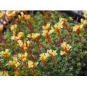 Saxifraga elisabethae x 'Tully' - Saxifrage