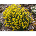 Saxifraga eudoxiana x 'Gold Dust'' - saxifrages