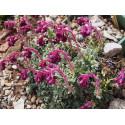 Saxifraga federici-augusti subsp. grisebachii 'Wisley' - Saxifrage