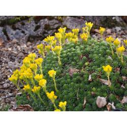 Saxifraga ferdinandi coburgi var pravislavii - Saxifrage