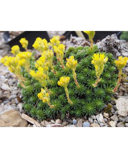 Saxifraga ferdinandi coburgi var rhodopea - Saxifrage