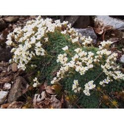 Saxifraga marginata var. coriophylla 'Minor' - saxifrage