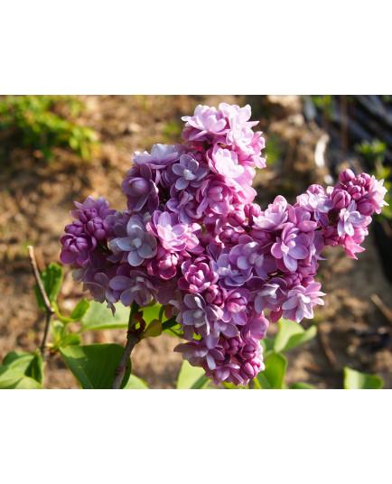 Syringa vulgaris 'Michel Buchner' - Lilas Commum