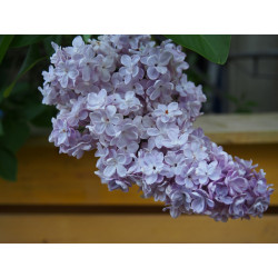 Syringa vulgaris 'Président Grévy' - lilas