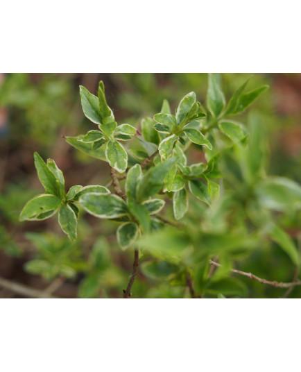 Abelia grandiflora x 'Lucky Lots®' -
