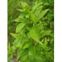 Forsythia intermedia x 'Week End' ®