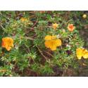 Potentilla fruticosa 'Tangerine' - potentilles