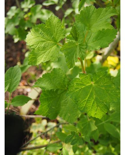 Ribes sanguineum - groseiller sanguin