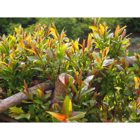 Salix fragilis var. decipiens