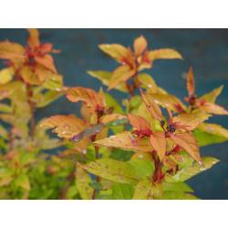 Spiraea japonica 'Goldflame' - Spirée du Japon