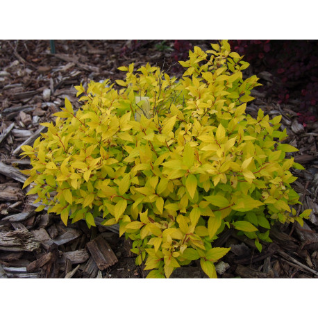 Spiraea japonica 'Nyewood Gold'