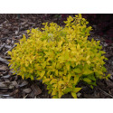 Spiraea japonica 'Nyewood Gold'