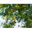 Laburnum anagyroides - cytises, cytise aubour