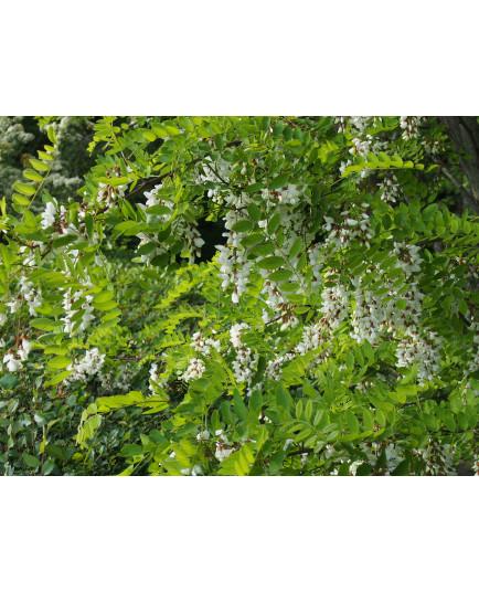 Robinia pseudoacacia – acacia, robiniers faux acacia,
