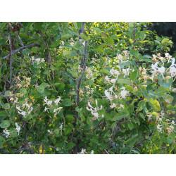 Lonicera caprifolium - Chevrefeuille grimpant , chèvrefeuilles des jardins