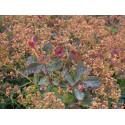 Cotinus coggygria 'Red Spirit' - Arbre à perruques