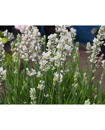 Lavandula intermedia x 'Edelweiss' - Lavande blanche
