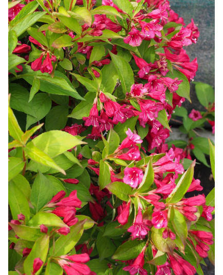Weigela 'Eva Rathke' - weigelia
