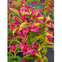 Weigela 'Moulin Rouge'® - weigelia panaché