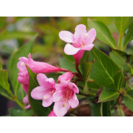 Weigela 'Pink Poppet'® (Plangeni)- weigelia