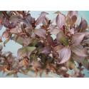 Weigela florida 'Purpurea' - weigelia pourpre