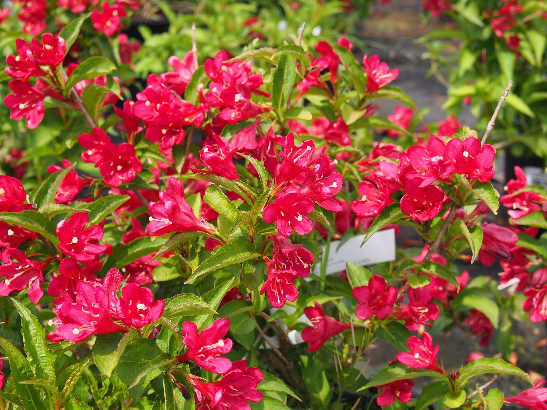 Arbuste Nain Persistant Plein Soleil weigela nain rouge ® (courtanin) - weigelia