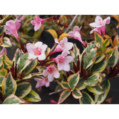 Weigela florida 'Magical Rainbow' ®