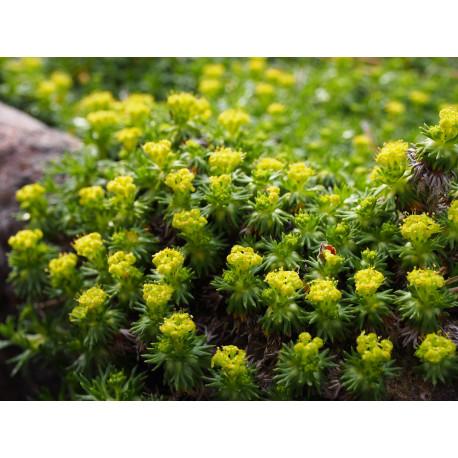 Azorella trifurcata 'Nana' -Coussin des Andes