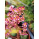 Saxifraga paniculata 'Rosea Splendens'