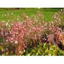 Saxifraga urbium x 'Aureopunctata' - Saxifrage panachée