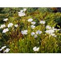 Heliosperma pusillum- Silene des Alpes