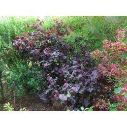 Corylus 'Red Majestic'® - noisetier tortueux à feuillage pourpre, coudrier