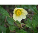 Dryas drummondii 'Grandiflora' - Dryade , thé suisse