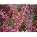 Berberis thunbergii 'Rose Glow' - berberis, épine-vinettes, épines vinettes, vinetiers,