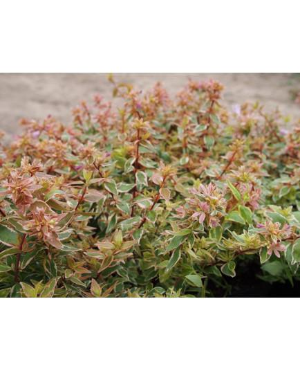 Abelia grandiflora x 'Radiance'