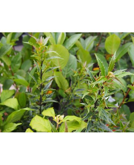 Ilex aquifolium 'Myrtifolia'- houx à feuilles de myrte,
