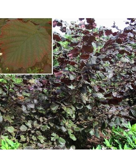 Corylus maxima 'Purpurea' - noisetiers pourpres, coudriers,