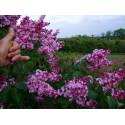 Syringa vulgaris 'General Pershing' - lilas