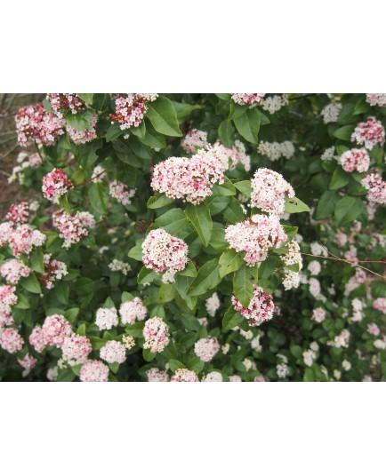 Viburnum tinus 'Lisa Rose' ®