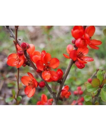 Chaenomeles japonica 'Sargentii' - Cognassier du japon