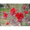 Chaenomeles superba x 'Etna' - cognassier fleurs