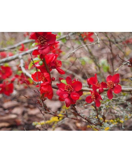Chaenomeles superba x 'Hollandia' - Cognassier à fleurs