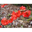 Chaenomeles superba x 'Orange Star' - Cognassier à fleurs