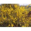 Forsythia intermedia x 'Casque d'Or'®