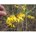 Forsythia intermedia x 'Karl Sax'