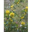 Mahonia wagneri x 'Undulata'