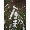 Spiraea arguta x - spirée blanche