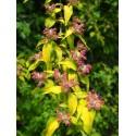 Kolkwitzia amabilis 'Maradco'- Buisson de Beauté