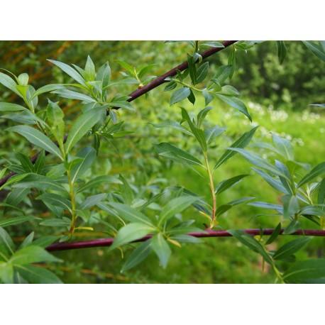 Salix daphnoides 'Super Puss'