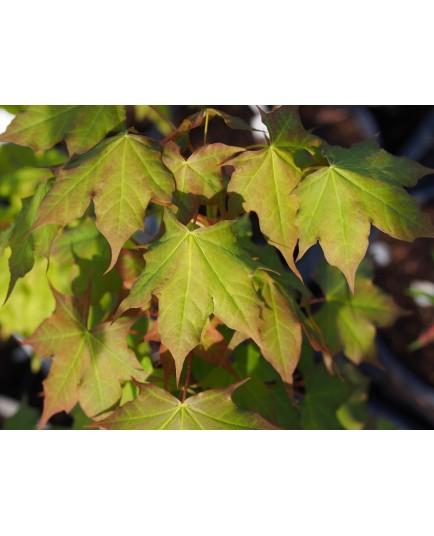 Acer cappadocicum